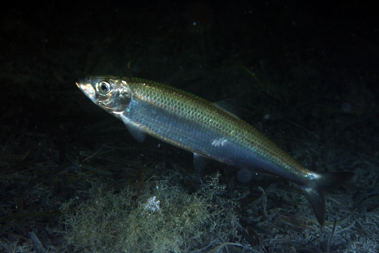 Międzynarodowa Rada Badań Morza (ICES) ponownie zaleciła znaczne redukcje połowów dorszy i śledzi w Bałtyku