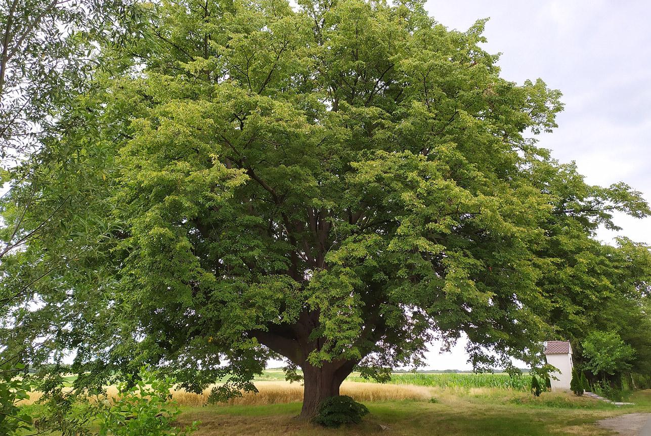 Lipa św. Jana Nepomucena z Dulczy Wielkiej Drzewem Roku 2020!