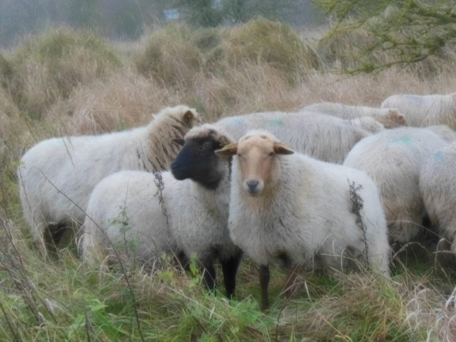 Owce dotarły do Pargowa - projekt INT162