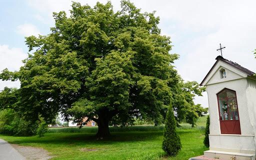 Europejskie Drzewo Roku - głosowanie na półmetku!