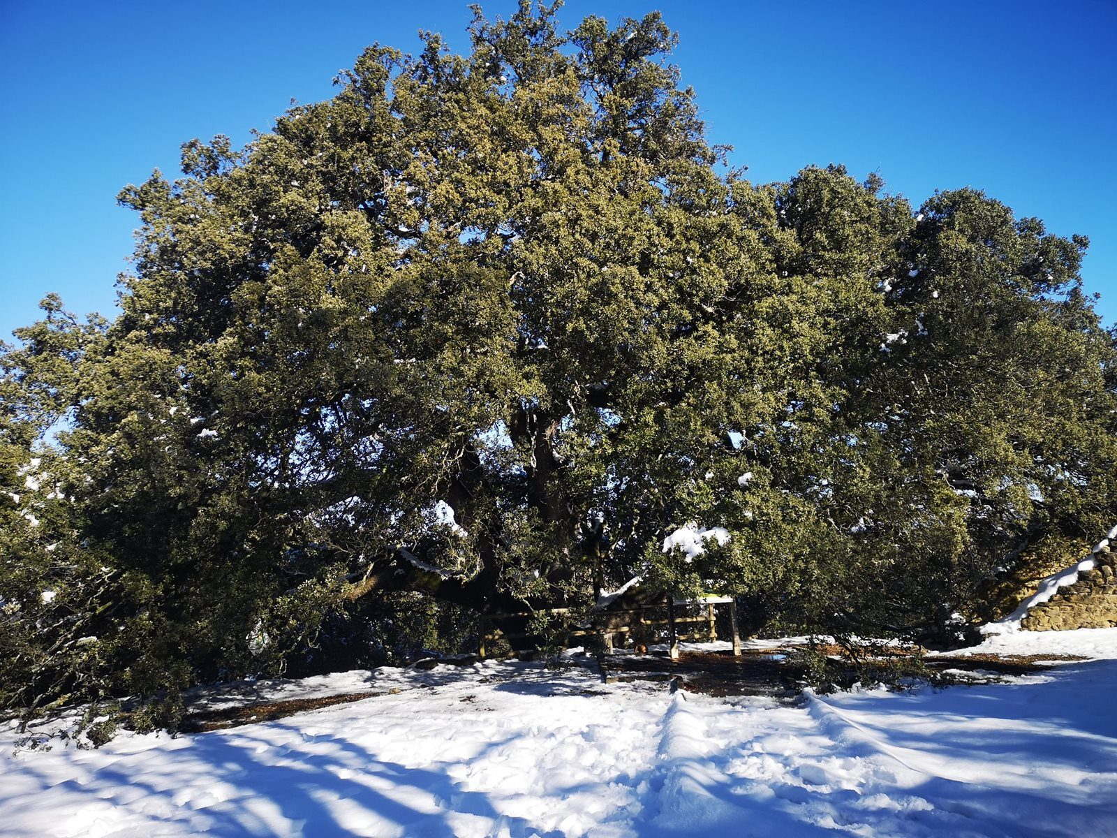 Tysiącletni dąb z Hiszpanii zdobył tytuł Europejskiego Drzewa Roku 2021!
