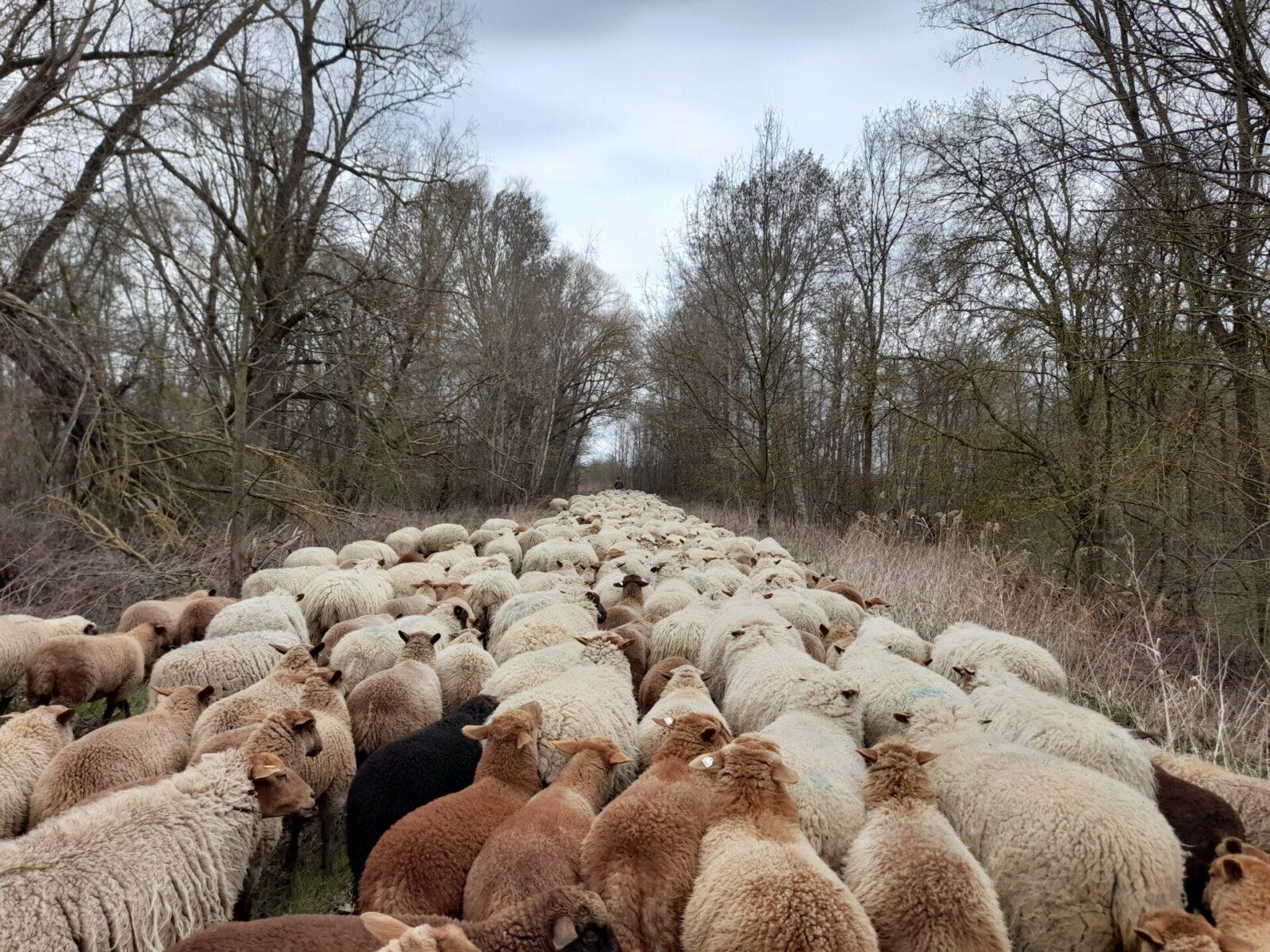 Prawie jak redyk! - przemarsz owiec w obszarze transgranicznym projektu INT162