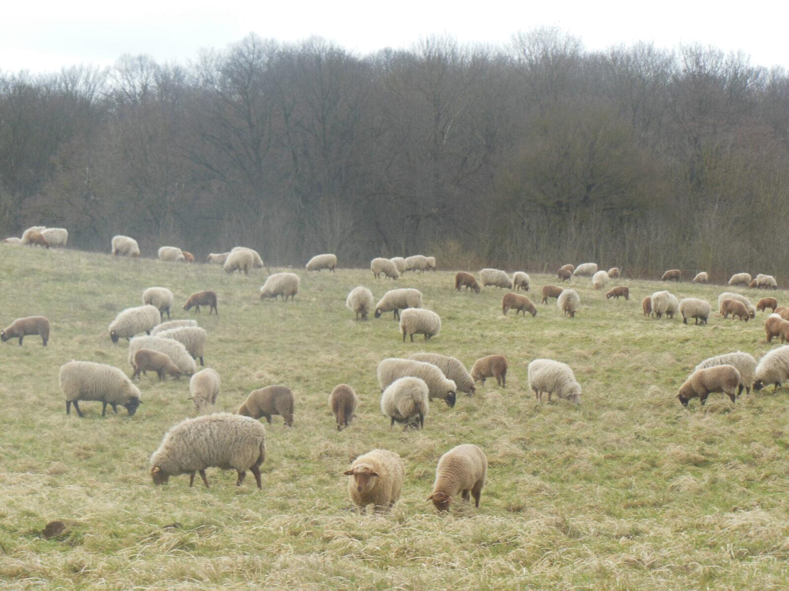 Kontynuacja wypasu owiec w projekcie INT162