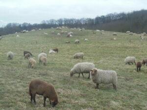 Kontynuacja wypasu owiec wprojekcie INT162