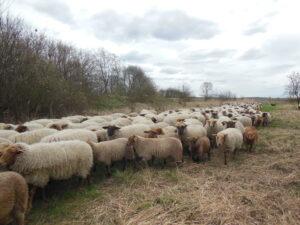 Prawie jak redyk! - przemarsz owiec wobszarze transgranicznym projektu INT162