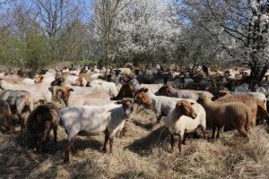 Strzyżenie stada owiec wypasanego namurawach projektu INT162