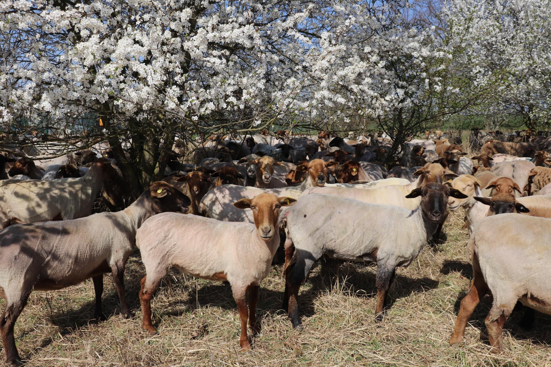 Strzyżenie stada owiec wypasanego na murawach projektu INT162
